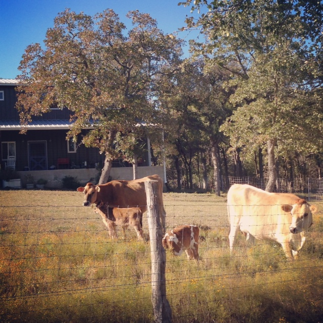 front yard cows
