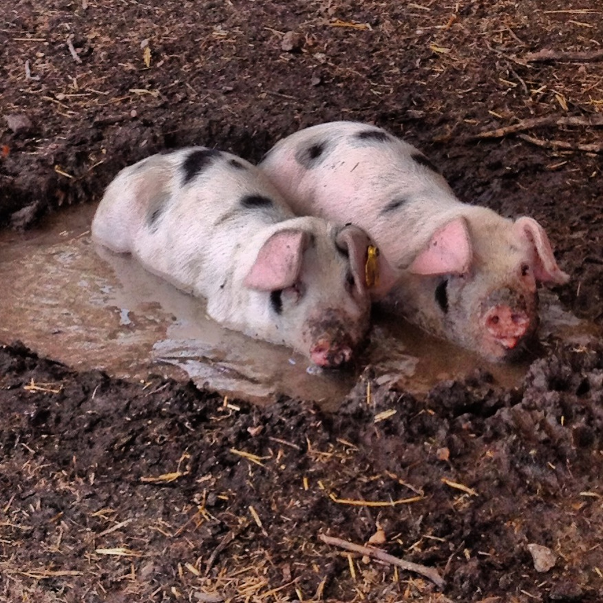 wallowing pigs